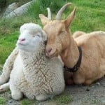 Who are the sheep and the goats in Matt 25?