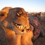 Camels and the reliability of the Old Testament