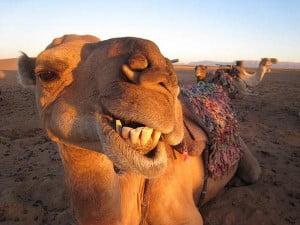 Funny-Camel-25