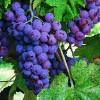 genesis_resveratrol_grapes