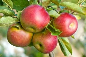 Fruit-apples-on-tree