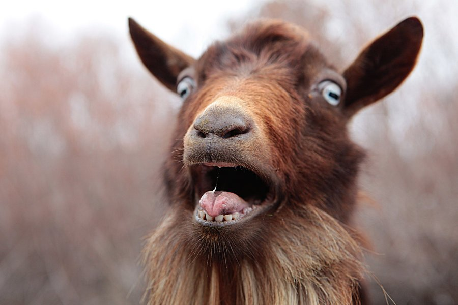 Image result for surprised goat