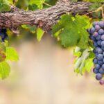 Jesus the true vine in John 15